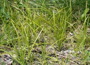 A patch of Yellow Nutsedge