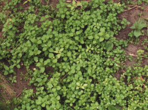 A clump of chickweed growing in a lawn.