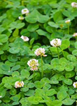 Clover In Lawn Before Being Sprayed by Professional Weed Control Company in Kansas City, MO